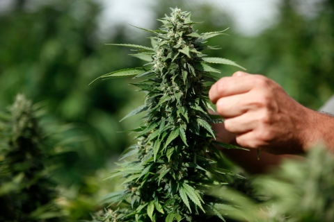 A worker touches a cannabis plant at a growing facility for the Tikun Olam company near the city of Safed, Aug. 22, 2010.