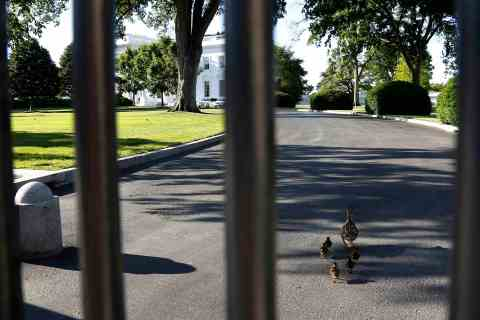 A slightly off-course mother duck leads her ducklings through the White House gates in Washington